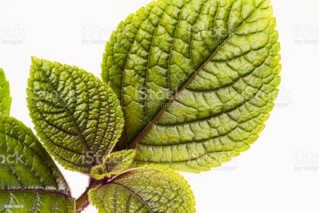 Plechanthus leaves close up background stock photo