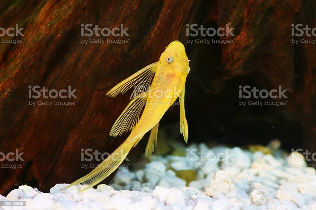 pleco catfish blue eye bushynose Ancistrus dolich stock photo
