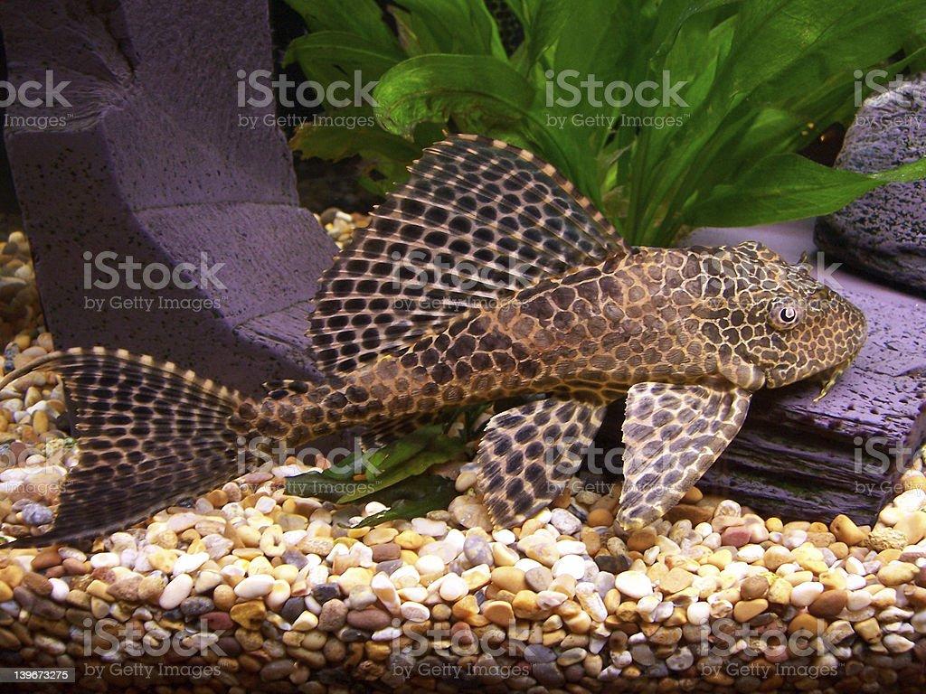 Plecostomus royalty-free stock photo
