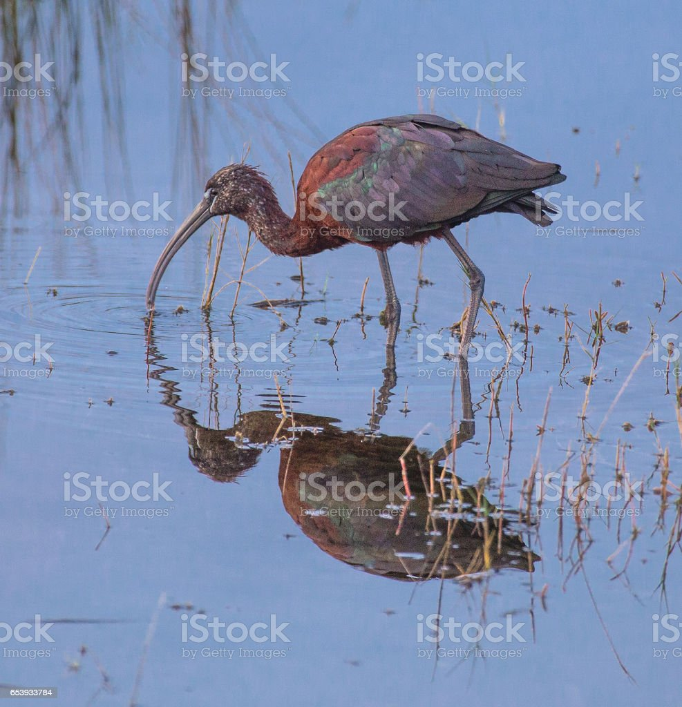 Plegadis falcinellus glossy ibis 3 stock photo