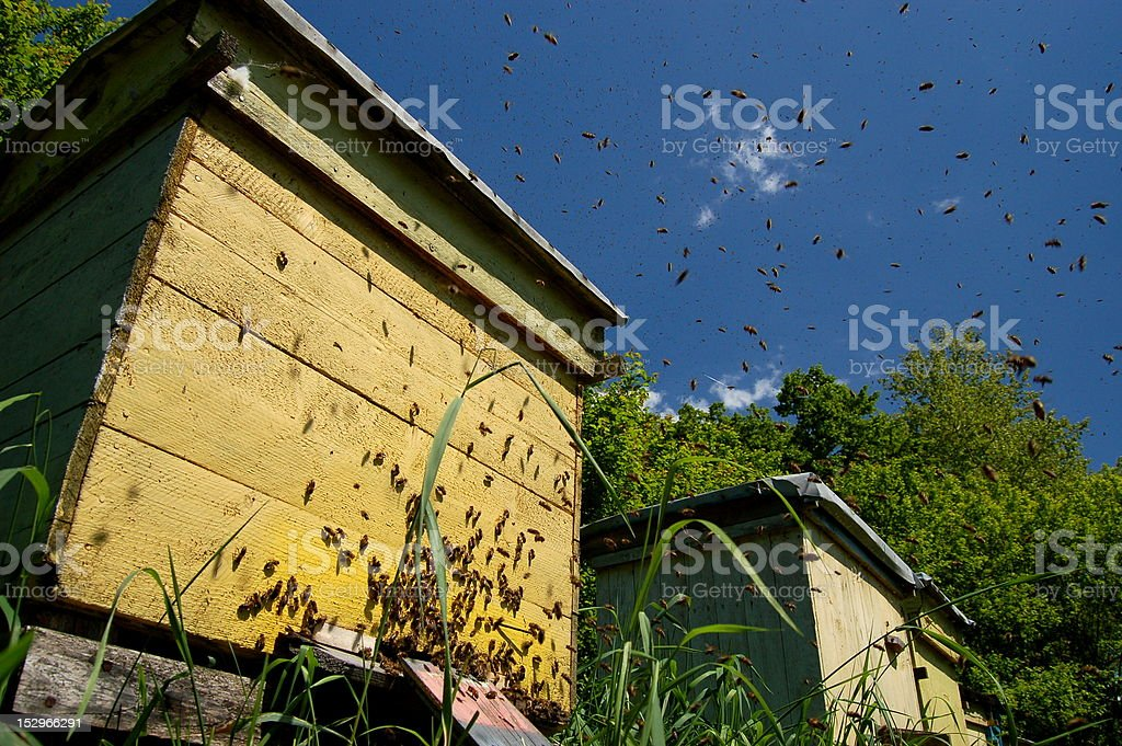 Plenty of dangerous furious bees stock photo