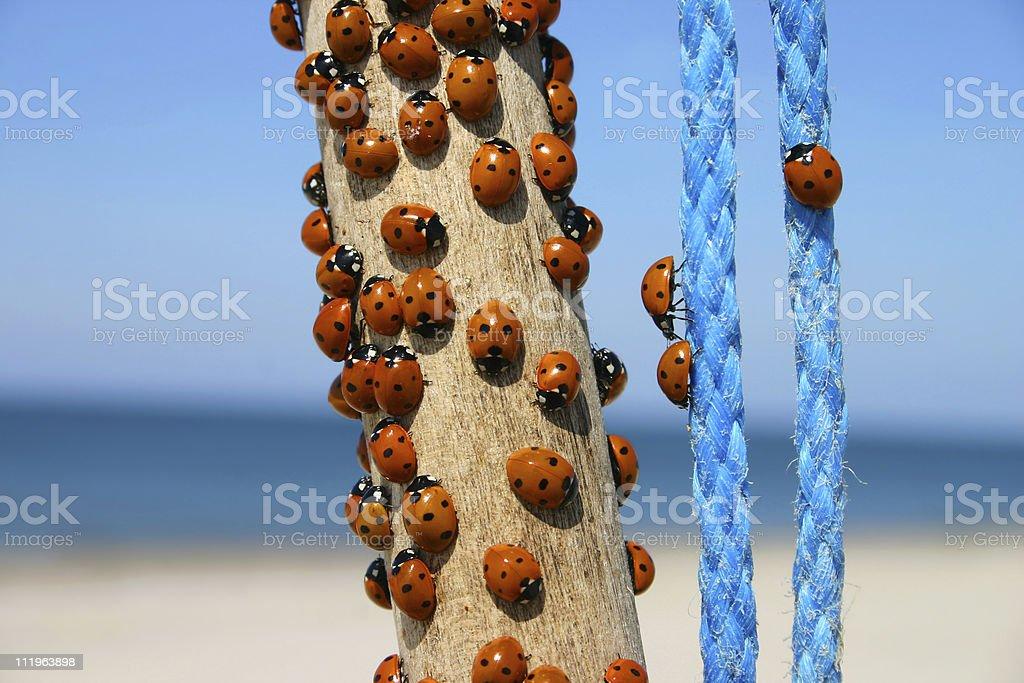 Plenty of ladybugs stock photo