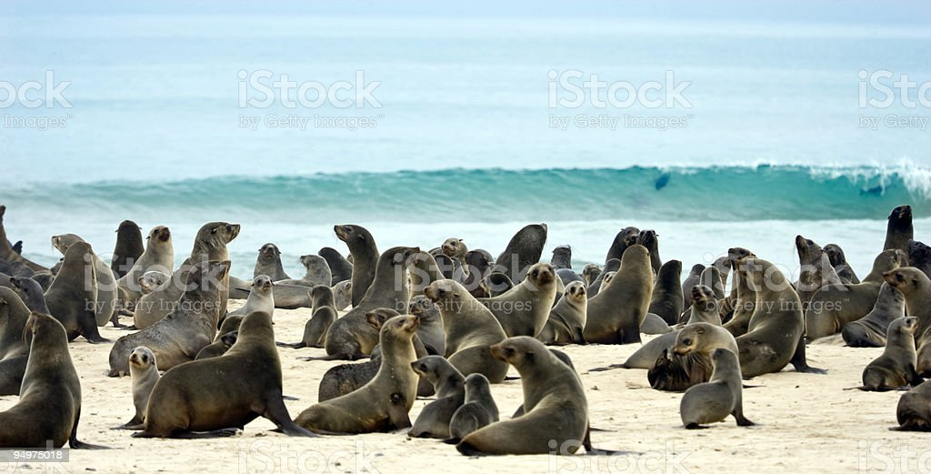 Plethora of seals on the sand by the ocean stock photo