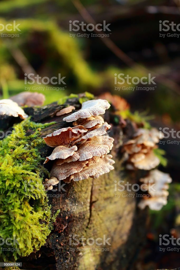 Pleurotus – oyster royalty-free stock photo