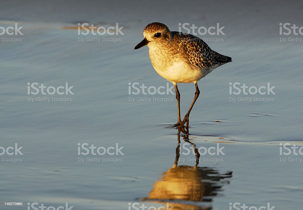 Plover on the Hunt royalty-free stock photo