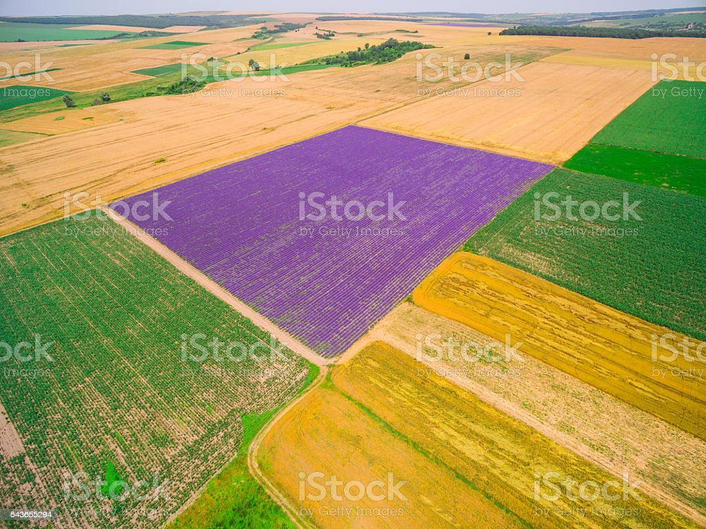 Plowed and sown lavender and wheat fields stock photo