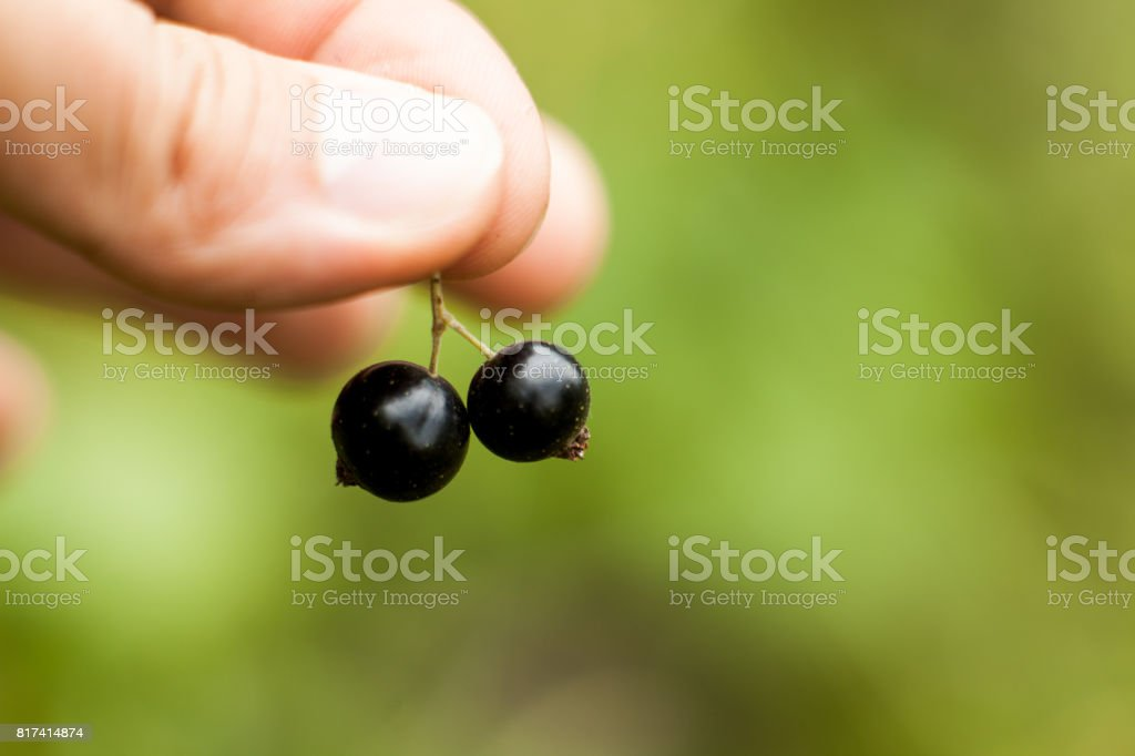 Pluck Blackcurrant fruit on the bush. Harvest of ripe fluffy blackcurrant. Black fruits on a green background. stock photo