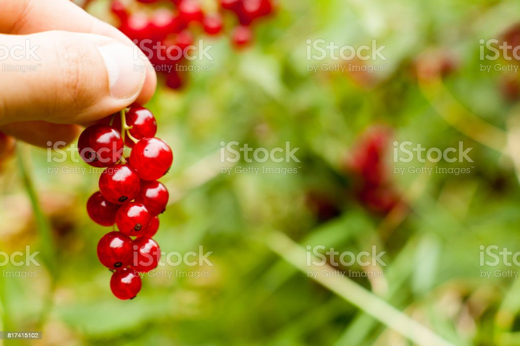 Pluck Redcurrant fruit on the bush. Harvest of ripe fluffy redcurrant. Red fruits on a green background. stock photo