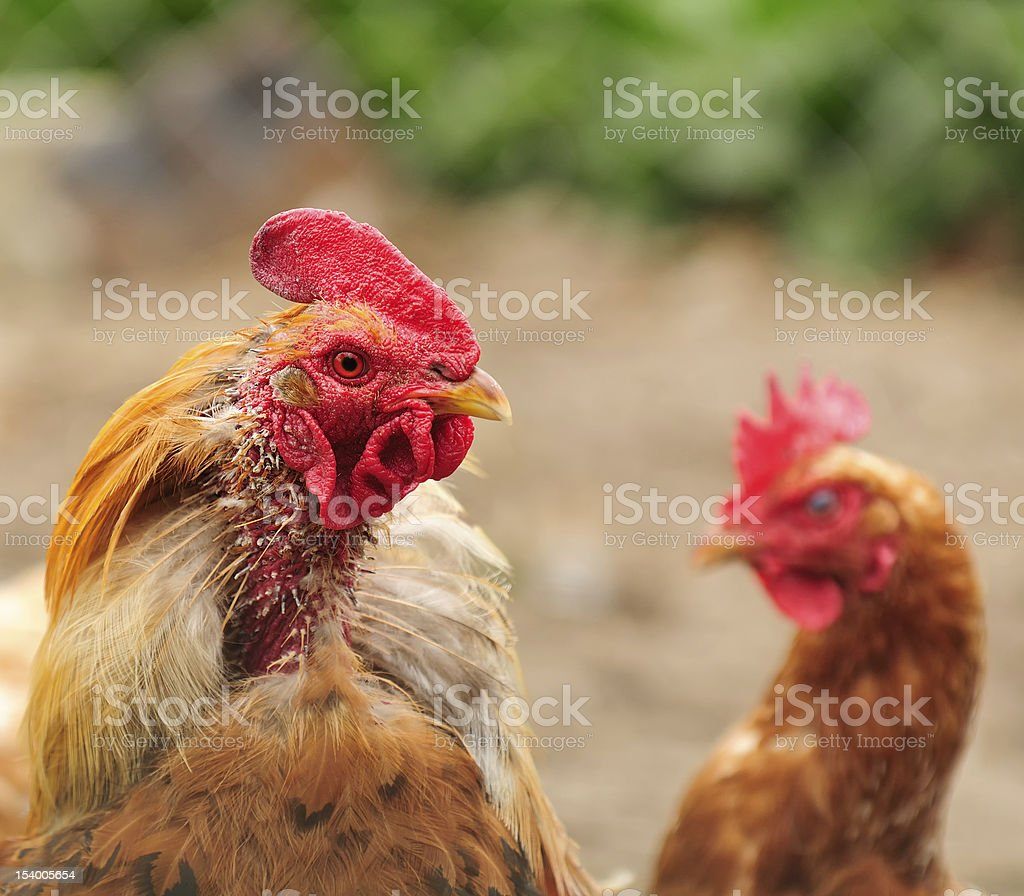 Plucked Rooster and Puzzled Hen royalty-free stock photo