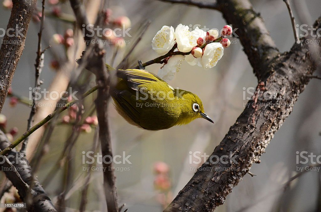 plum and a Japanese white-eye royalty-free stock photo