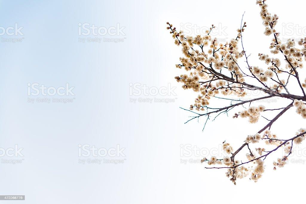 Kwiat śliwy, blue sky zbiór zdjęć royalty-free