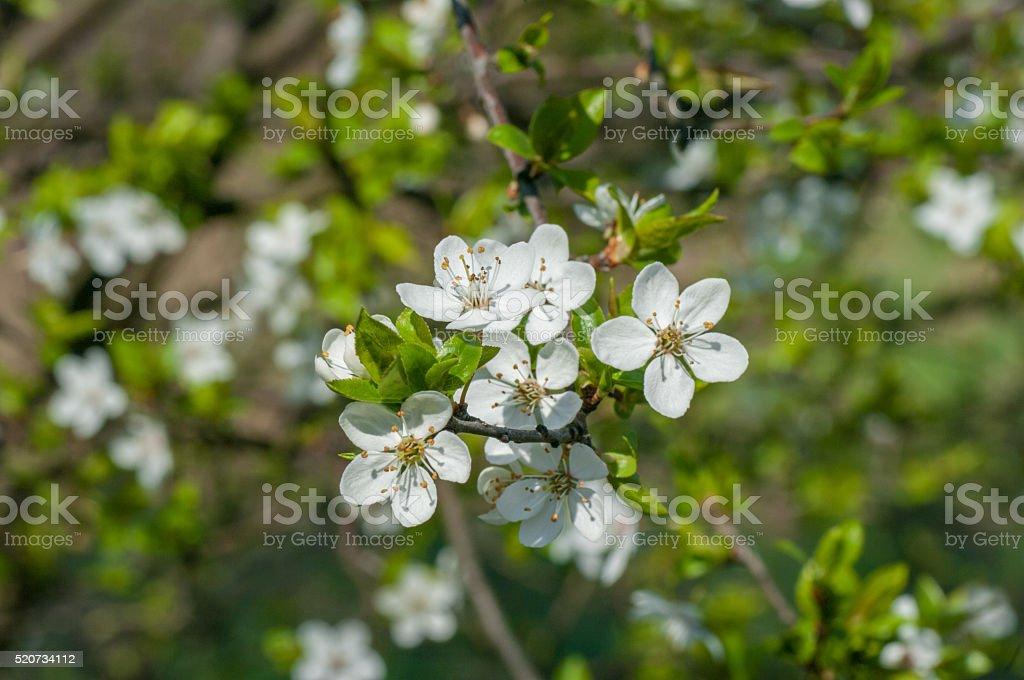 Plum blossom close up, white flowers stock photo
