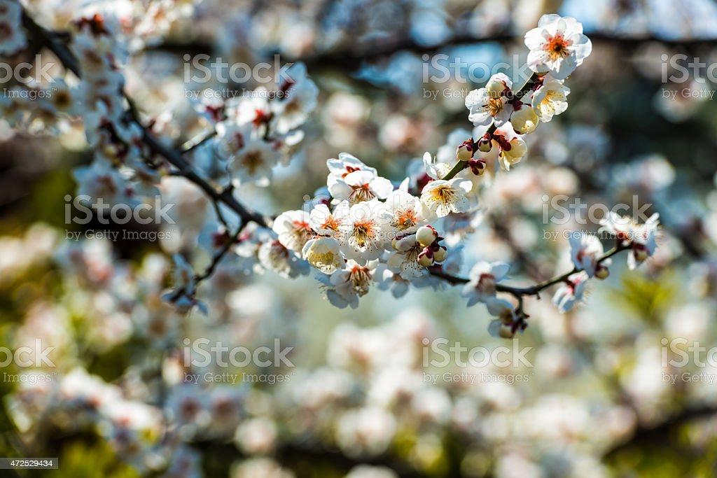 Kwiat śliwy rano światła zbiór zdjęć royalty-free