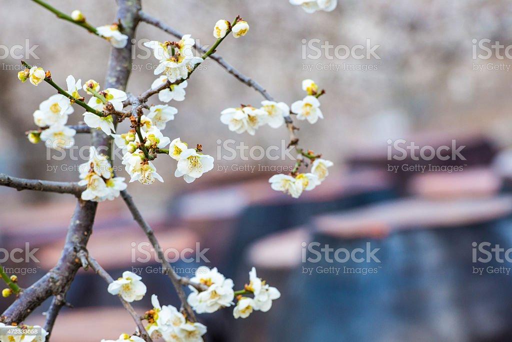 Kwiat śliwy rano zbiór zdjęć royalty-free
