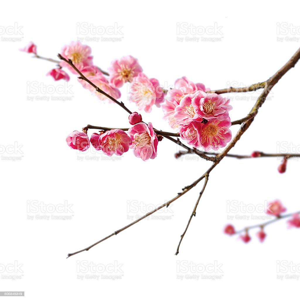 Plum blossom isolated on white background stock photo