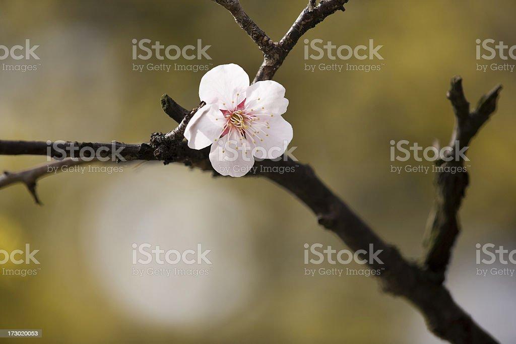 Plum Blossom royalty-free stock photo