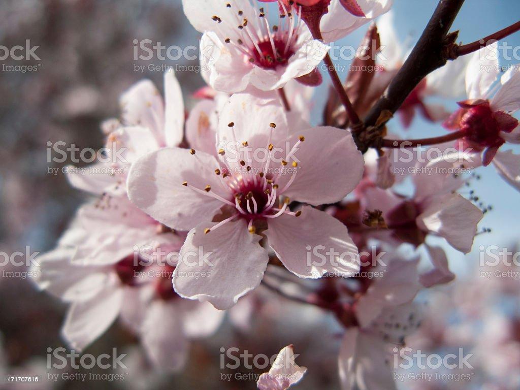 Flor de ciruelo stock photo