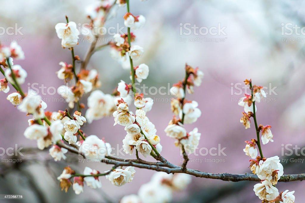Kwiat śliwy zbiór zdjęć royalty-free