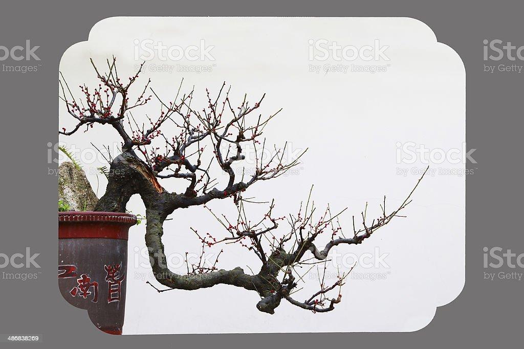 Plum Blossom  ?? stock photo