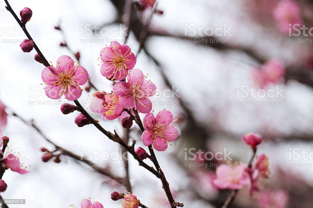 plum blossom stock photo