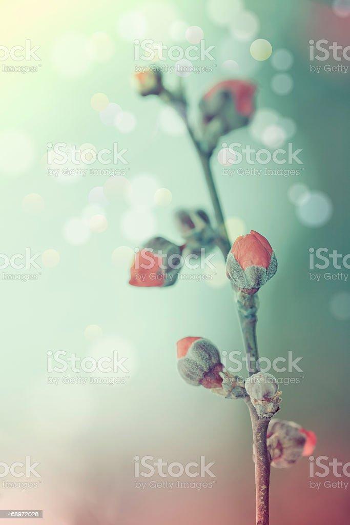 Plum blossom  shallow depth of field selective focus stock photo