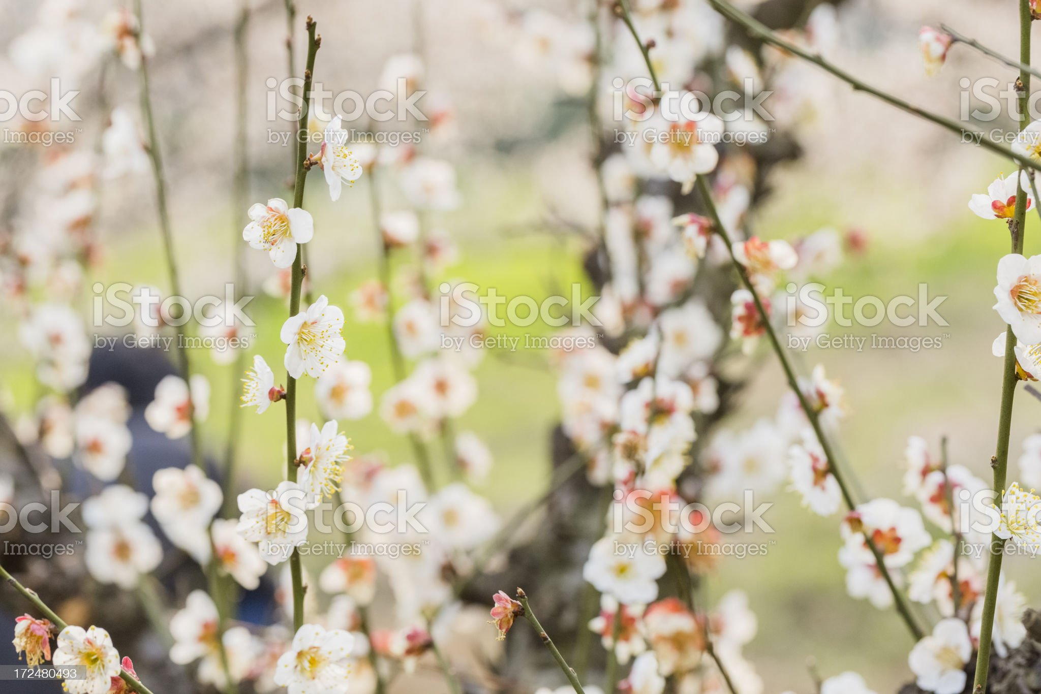 Plum blossoms at spring royalty-free stock photo