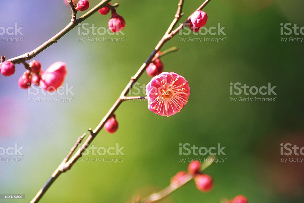 Plum blossoms in early spring royalty-free stock photo