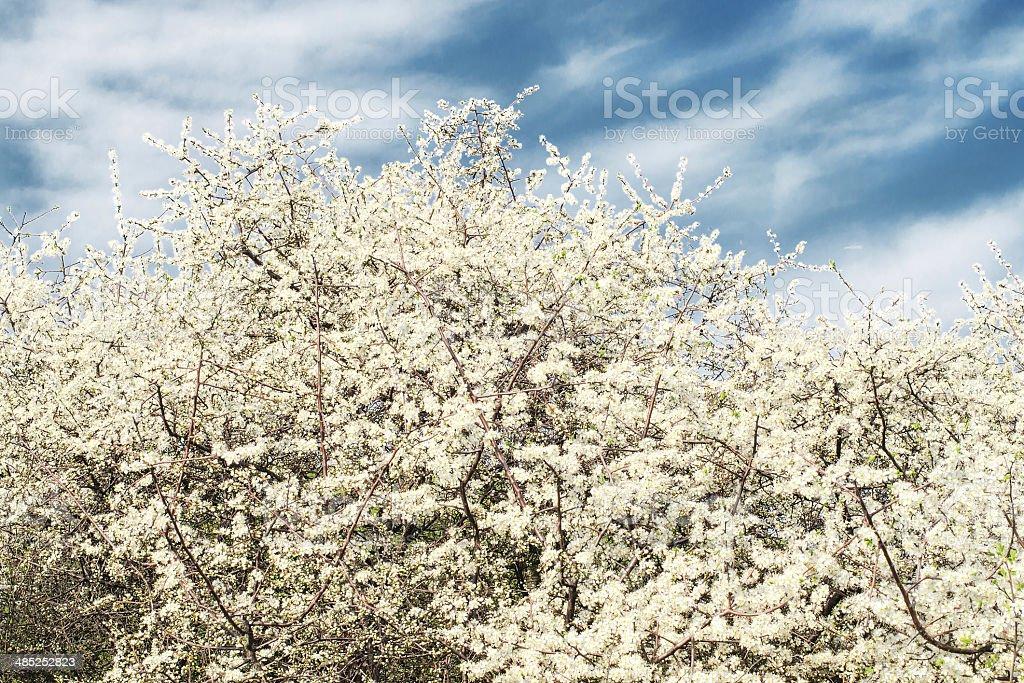 Prune de fleurs en mai photo libre de droits