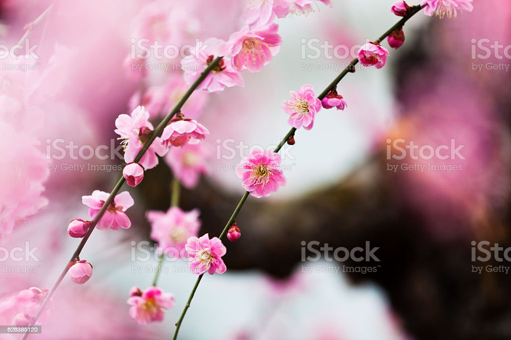 Plum Blossoms in Spring stock photo