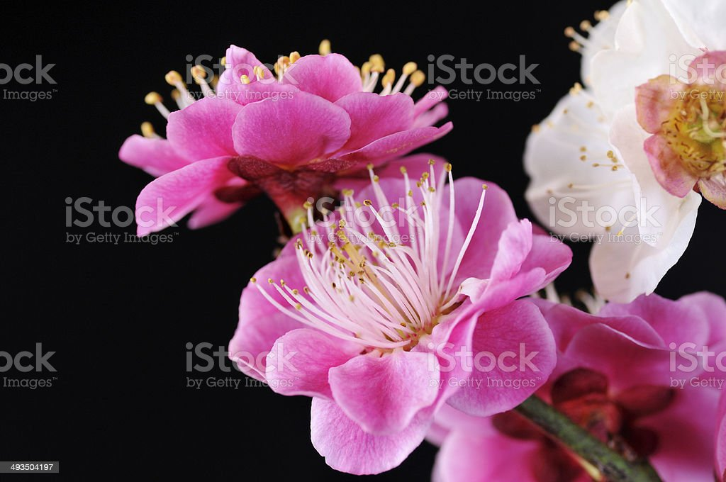 Plum blossoms of red and white stock photo