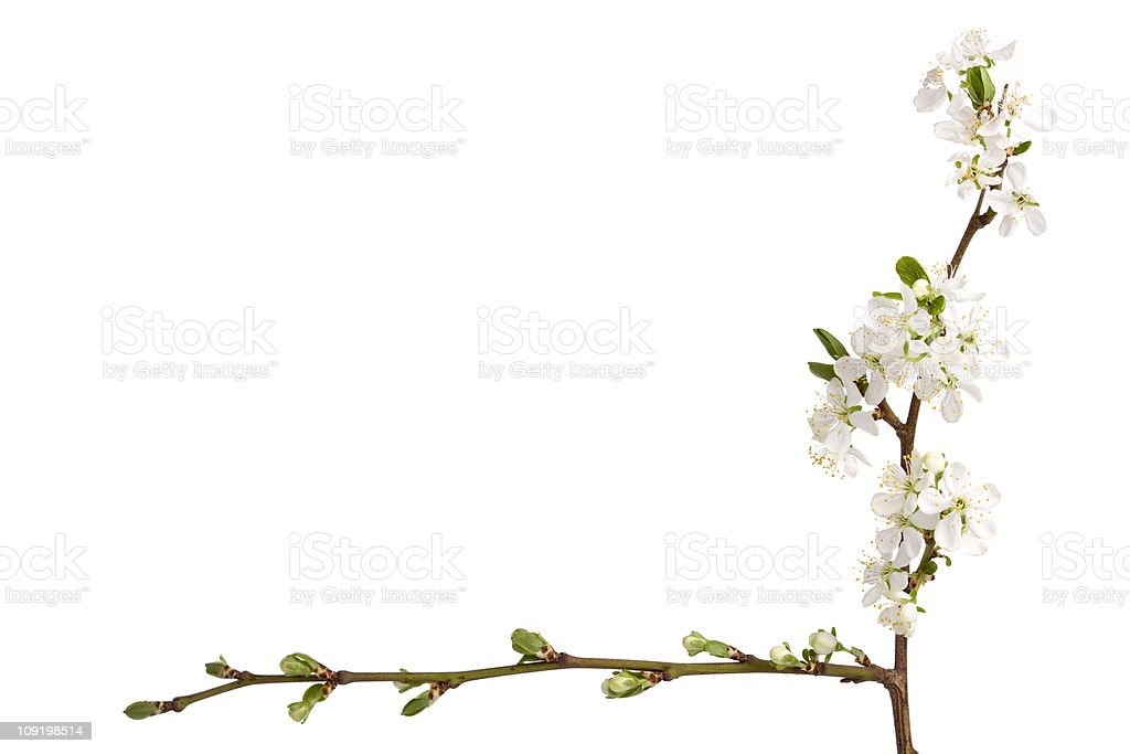 Plum blossoms (Prunus) royalty-free stock photo