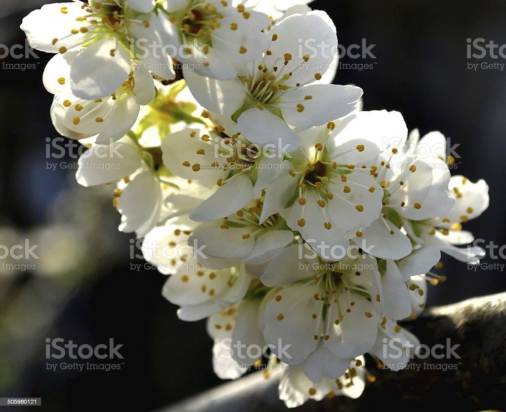 Plum blossoms stock photo