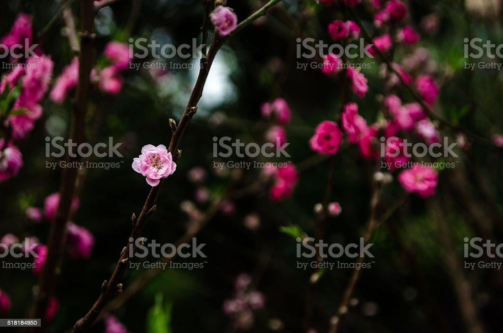 Сливы цветами Стоковые фото Стоковая фотография