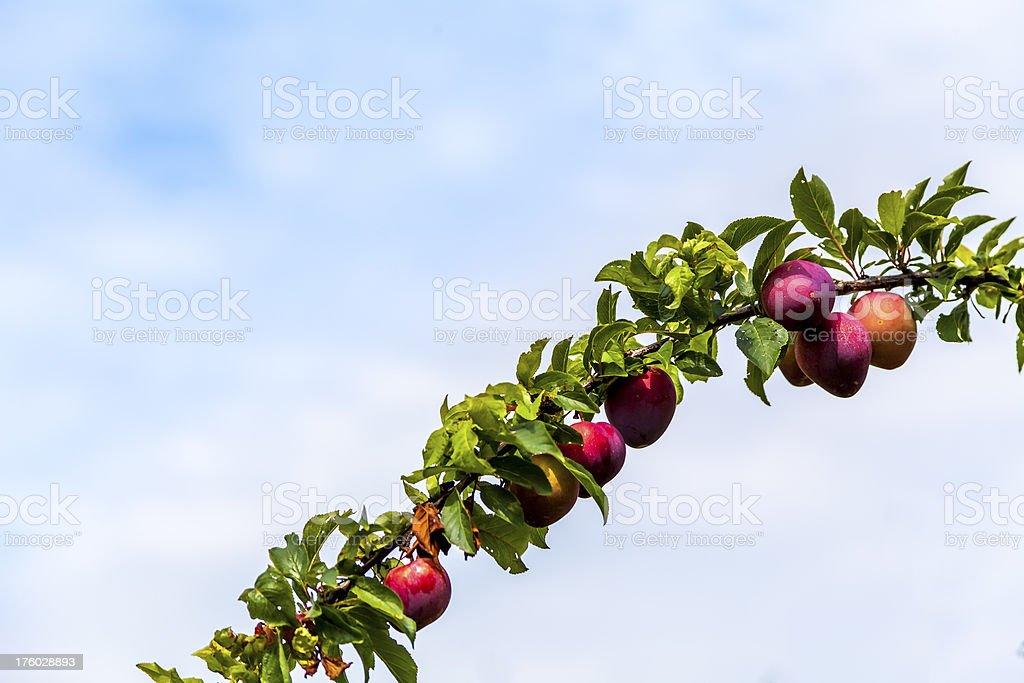 Plum branch royalty-free stock photo