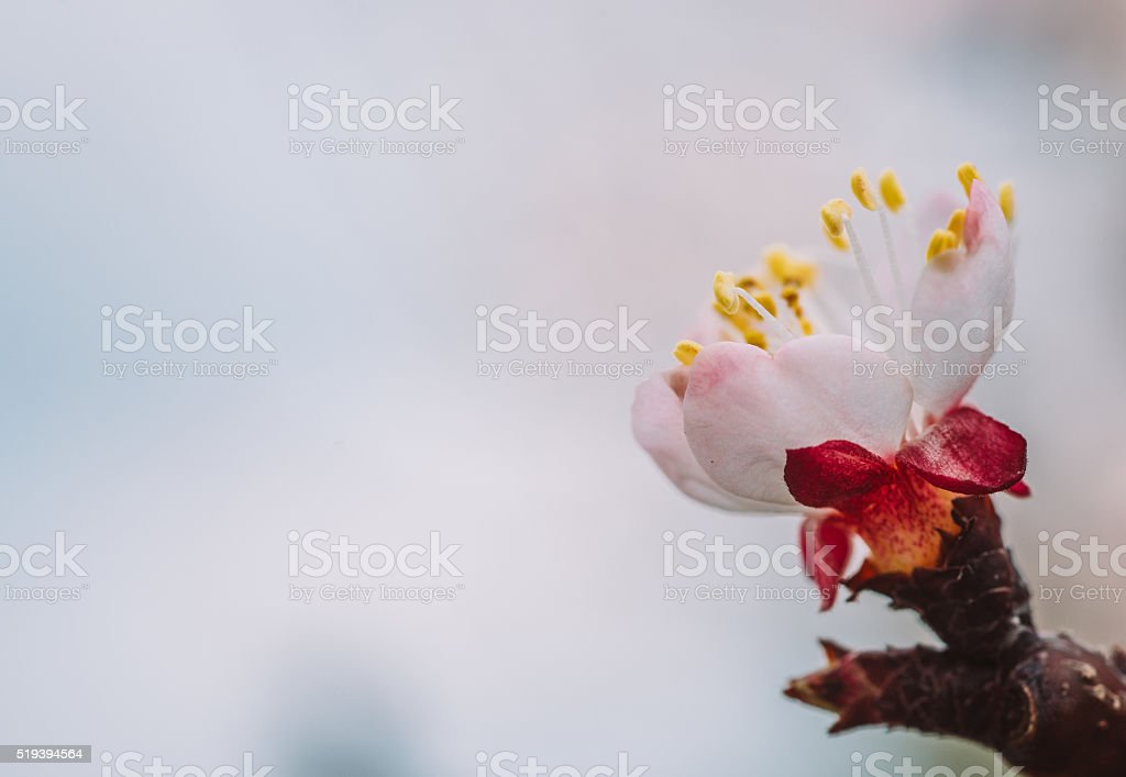 Plum flower macro shot with copy space stock photo