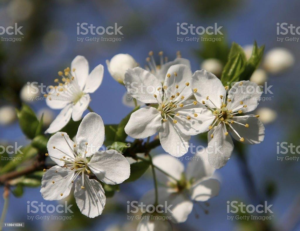 plum flowers blooming royalty-free stock photo