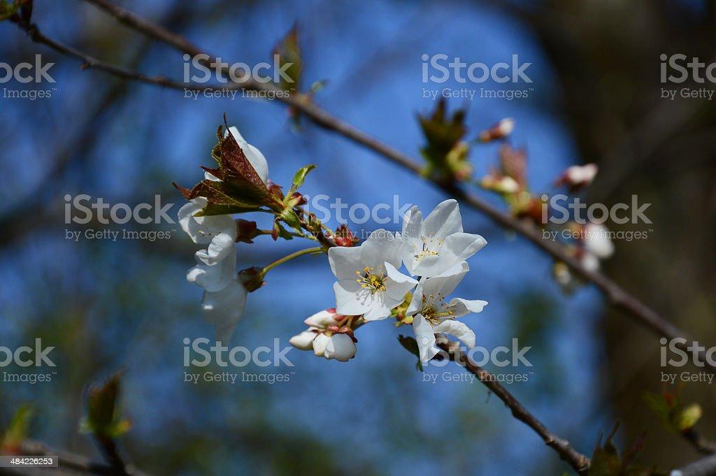 梅の花 ロイヤリティフリーストックフォト