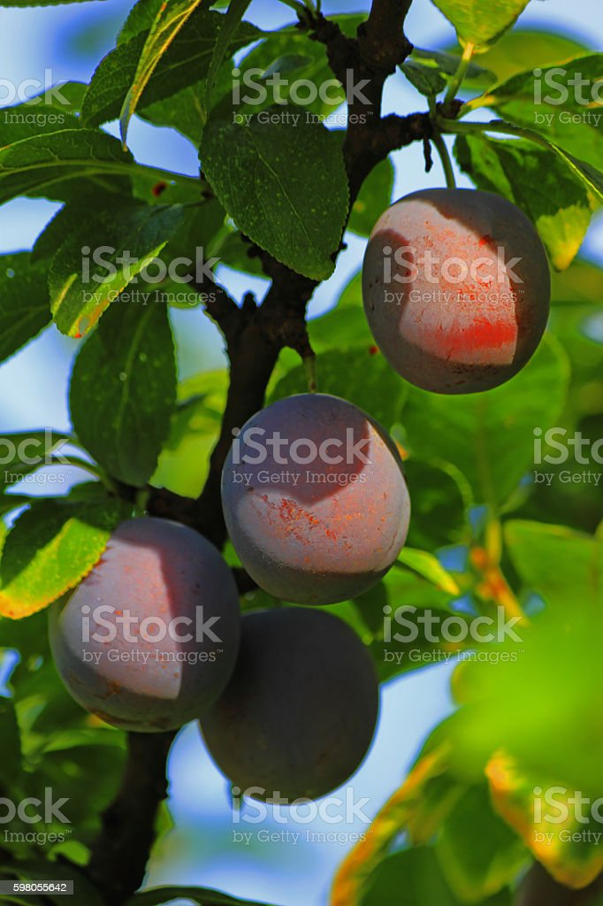 Plum fruit on a tree. stock photo