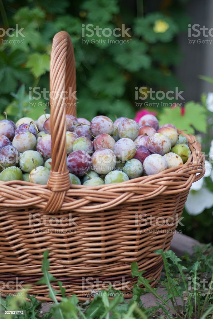 plum in a wicker basket in the garden stock photo