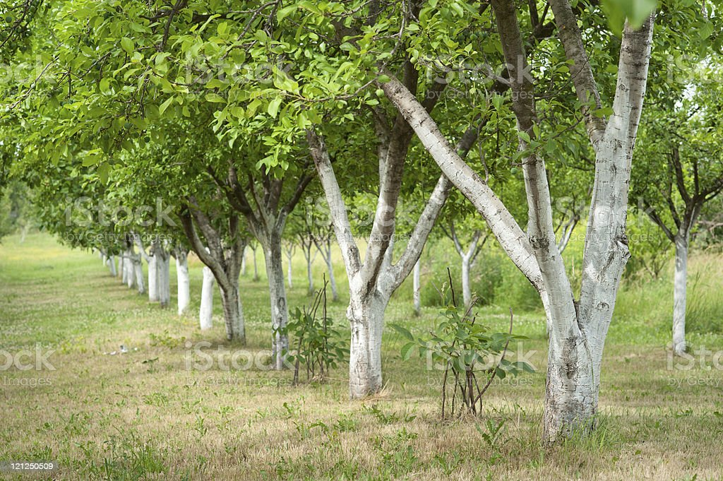Plum orchard royalty-free stock photo