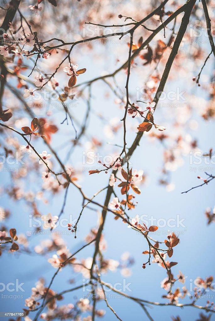 plum tree blossom branch stock photo