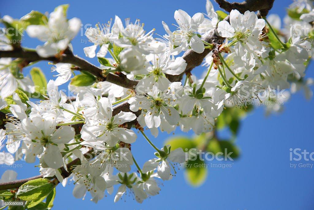 Plum tree blossom twig. stock photo