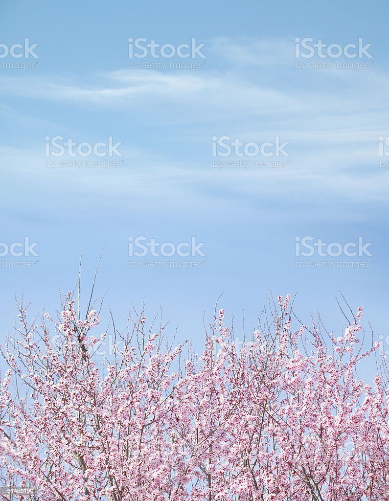 Plum Tree Blue Sky Background stock photo