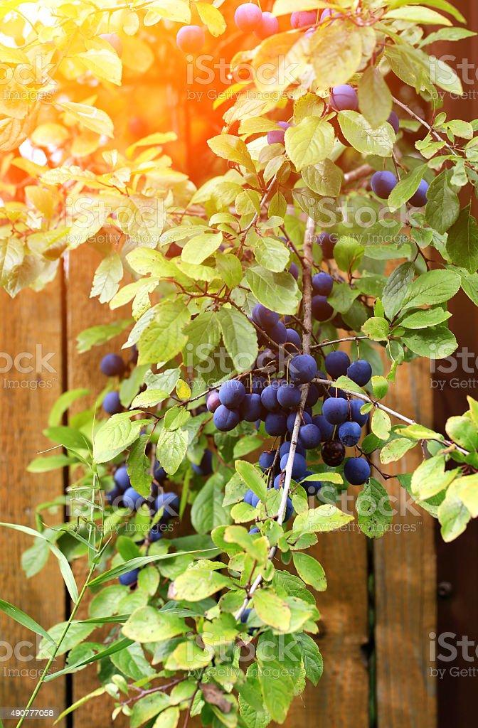 plum tree branch autumn selective soft focus stock photo