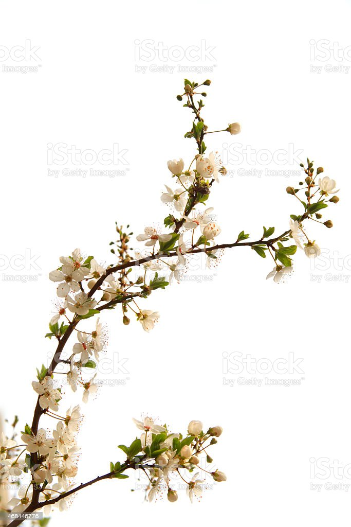 Plum tree branch in bloom stock photo