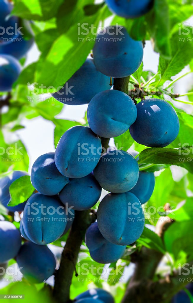 Plum tree branch in orchard stock photo