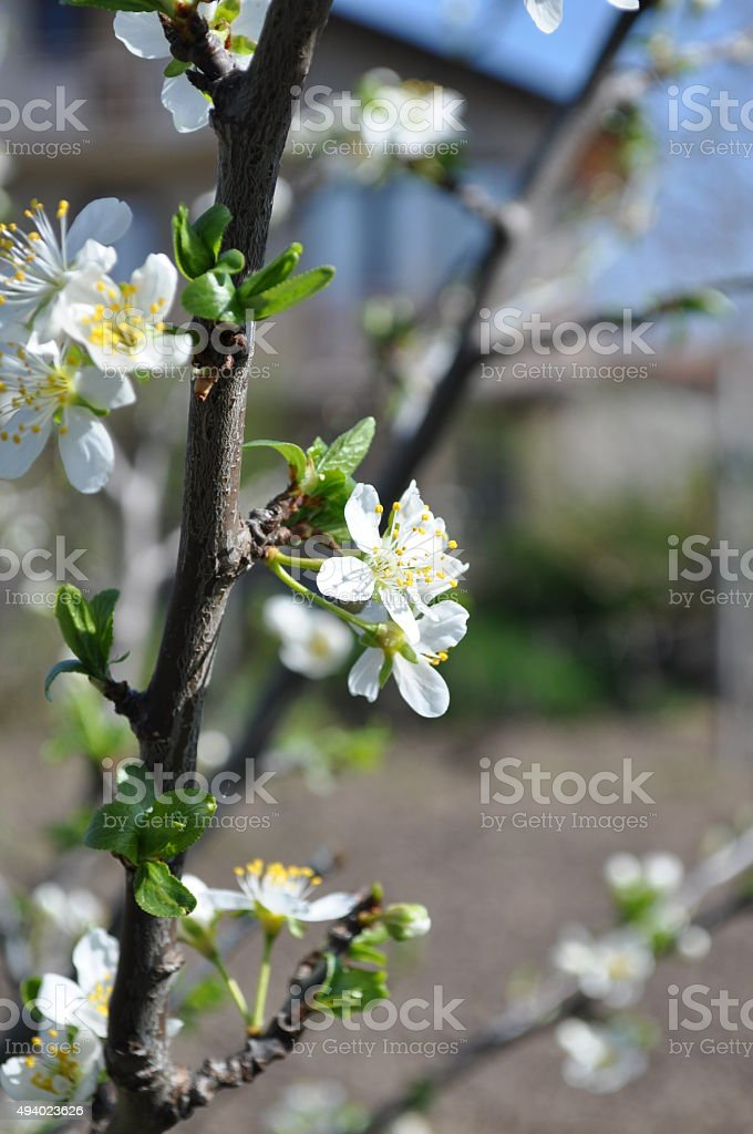plum tree branch with spring blossoms stock photo