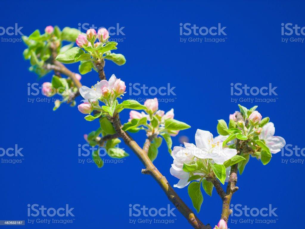Plum tree in full bloom stock photo