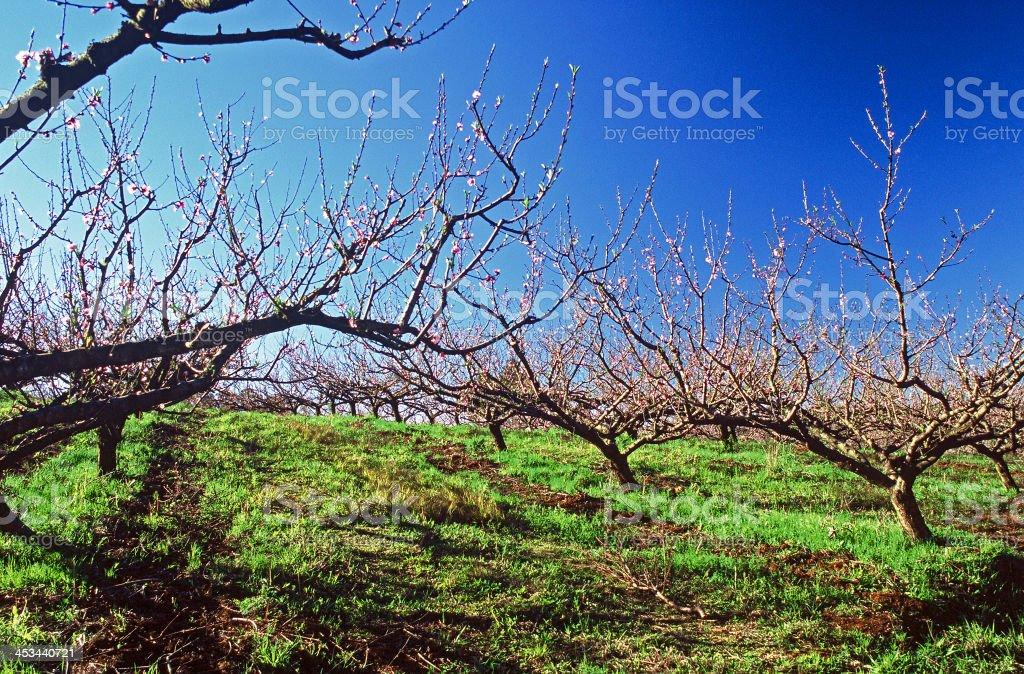 Plum Tree royalty-free stock photo