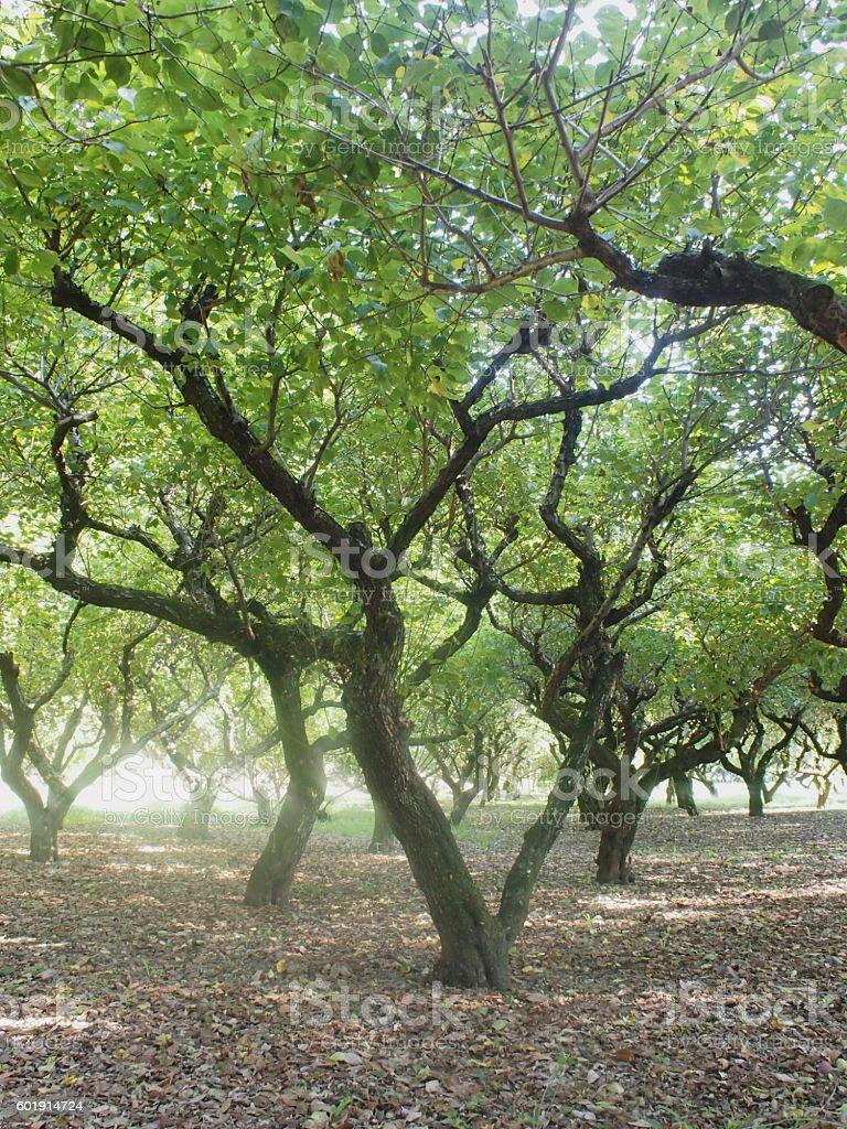 Plum trees in autumn royalty-free stock photo